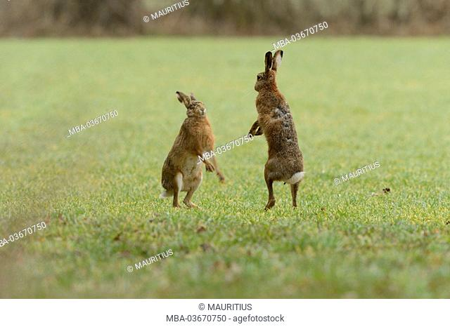 Field hares, Lepus europaeus, field, are playing