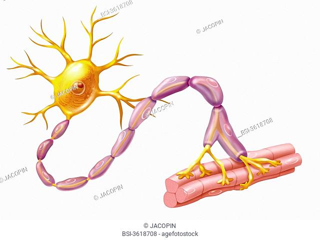 Motor neuron. Representation of a motor neuron, neuron in orangish body of a neuron and dendrites and in purple myelin sheath protecting the axon
