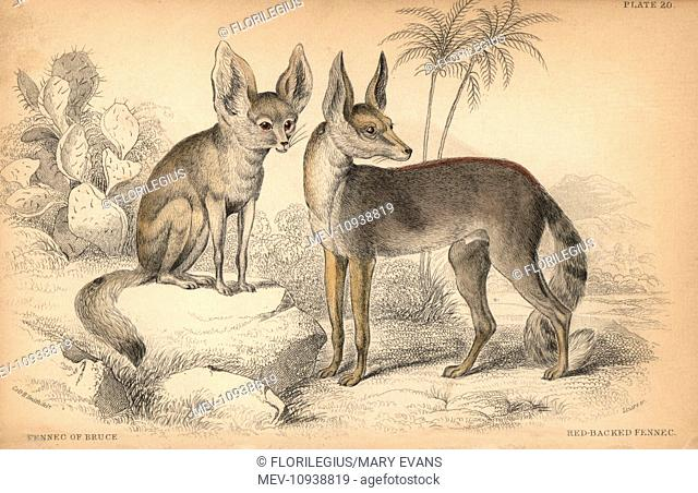 Fennec fox, Vulpes zerda. Handcolored engraving on steel by William Lizars from a drawing by Colonel Charles Hamilton Smith from Sir William Jardine's...
