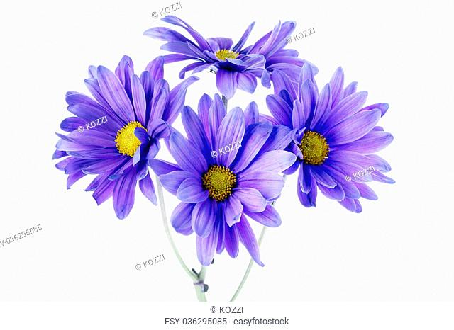 Four daisy flowers in a close-up image