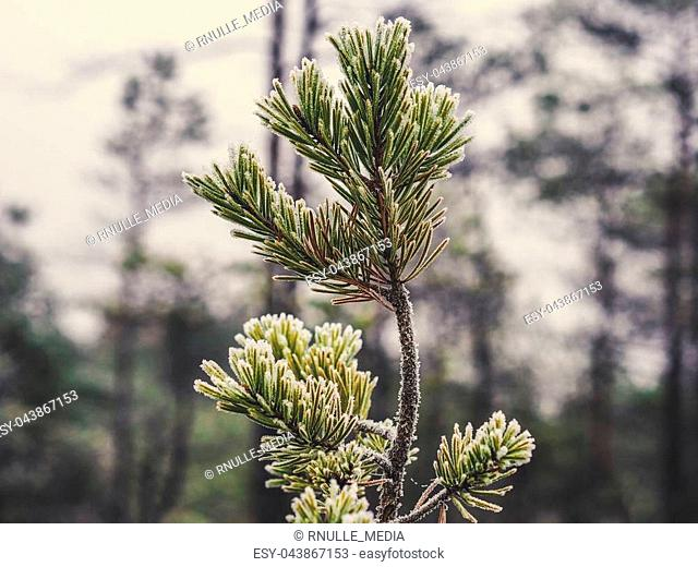 Closeup of Pine Tree Branch in Field of Kemeri moor in Latvia on a Cold Winter Morning with some Frost on them - Vintage look edit