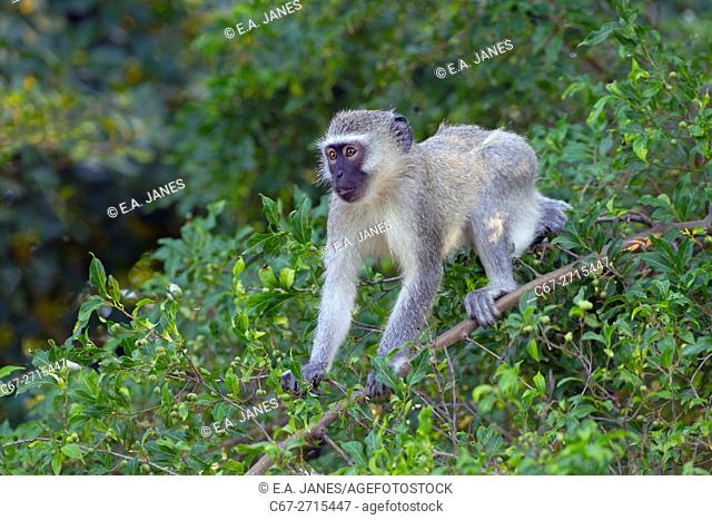 Vervet monkey (Chlorocebus pygerythrus), Natal, South Africa