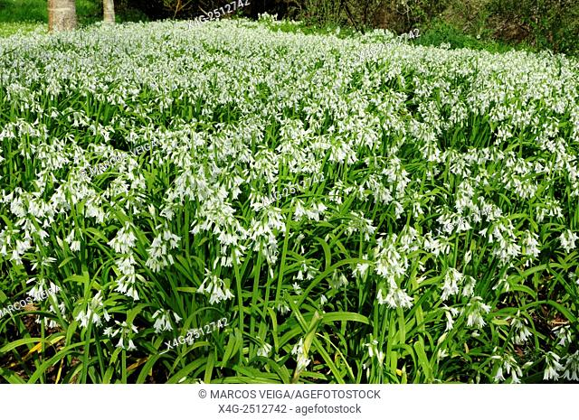 Carpet of three-cornered leek or virgin's tears (Allium triquetrum) covering the forest floor