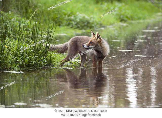 Red Fox ( Vulpes vulpes ) standing in shallow water, looks back, surrounded by high fresh green vegetation
