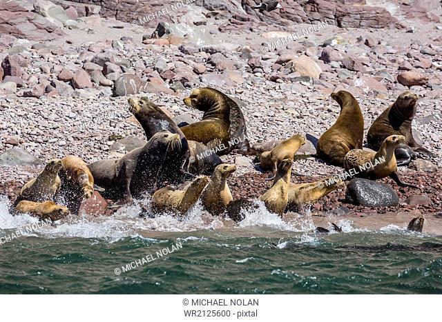 California sea lion (Zalophus californianus) herd stampeding to the sea at Isla San Esteban, Baja California, Mexico, North America