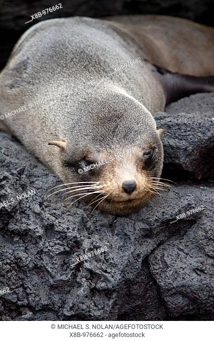 Galapagos fur seal Arctocephalus galapagoensis hauled out on lava flow in the Galapagos Island Archipelago, Ecuador  MORE INFO: This small pinniped is endemic...