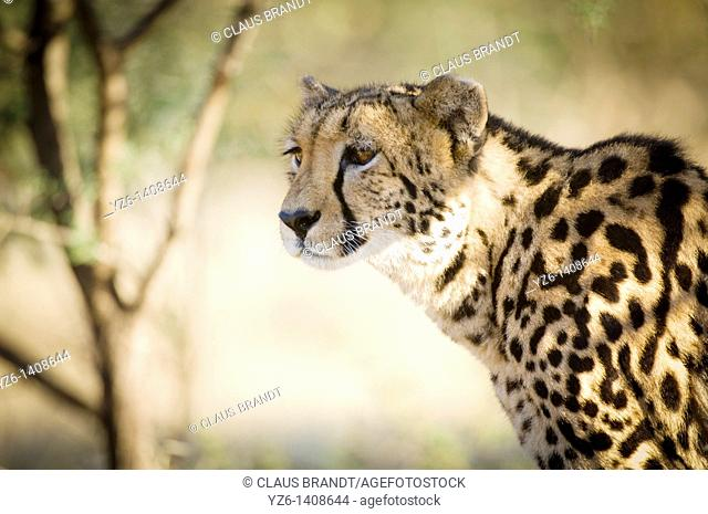 King cheetah Acinonyx jubatus, rare melanistic form  Greater Kruger Park, South Africa