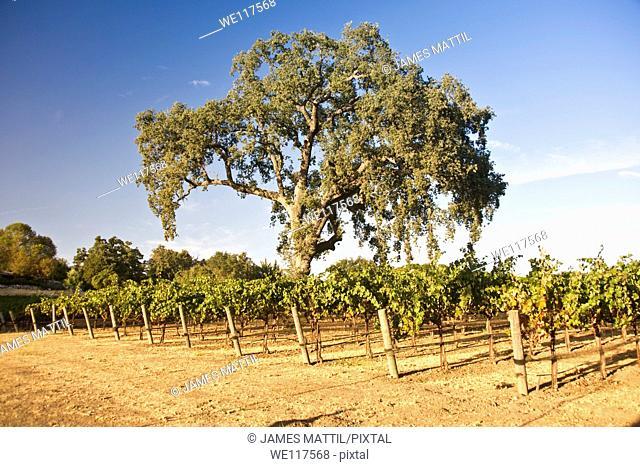 A large oak tree shades a California vineyard in late summer