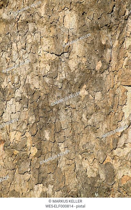 Germany, Baden-Wuerttemberg, Constance, bark of sycamore (Platanus), close-up