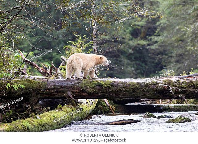 Spirit bear (Ursus americanus kermodei), male, on a salmon spawning creek, Great Bear Rainforest, British Columbia, Canada