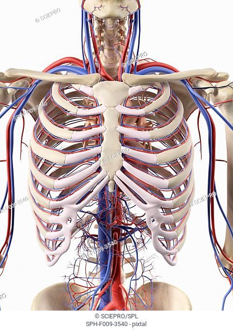 Human blood vessels in the thorax, computer artwork