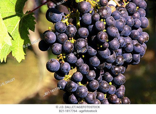 France, Aquitaine, Gironde,  'Merlot' wine fruits, Bordeaux wines district