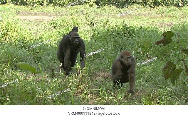 Two Western Lowland Gorillas with one carrying baby walking across forest floor with long grass and trees