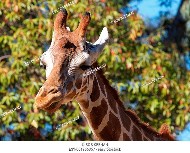 Giraffe right look
