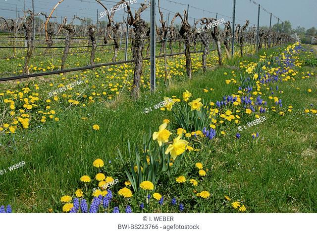 row of grapevine with dandelion, daffodills and grape-hyacinths, Germany, Rhineland-Palatinate, Palatinate, German Wine Route