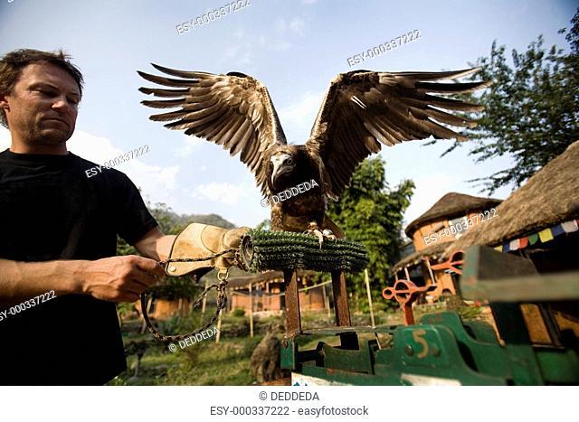 Man and Egyptian vulture Neophron percnopterus, Pokhara, Nepal