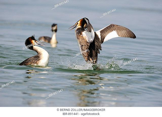 Great Crested Grebe (Podiceps cristatus) fighting, Lake Constance, Konstanz, Baden-Wuerttemberg, Germany, Europe