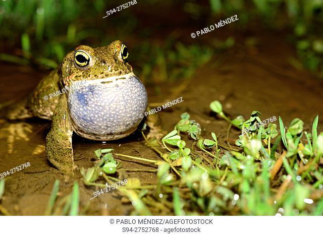 Natterjack toads 'Bufo calamita' singing in Lozoyuela, Madrid, España