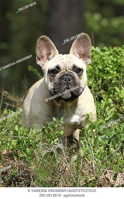 Dog French Bulldog adult At the edge of the wood