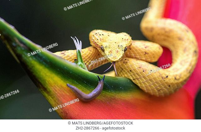 Eyelash viper, Bothriechis schlegelii lying on heliconia flower and sticking his tounge out sniffing on a snail at Laguna del Lagarto, Boca Tapada, San Carlos