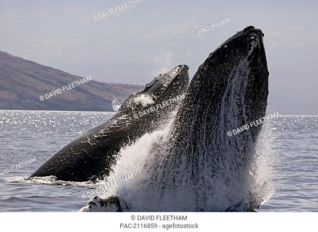 Hawaii, West Maui, Two Humpback Whales (Megaptera Novaeangliae) Breaches, Propelling Their Bodies From The Ocean