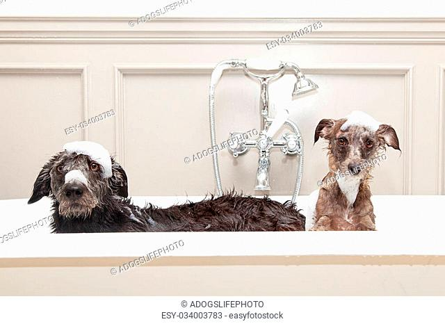Two different size terrier dogs in tub with unhappy expressions and soap suds on heads