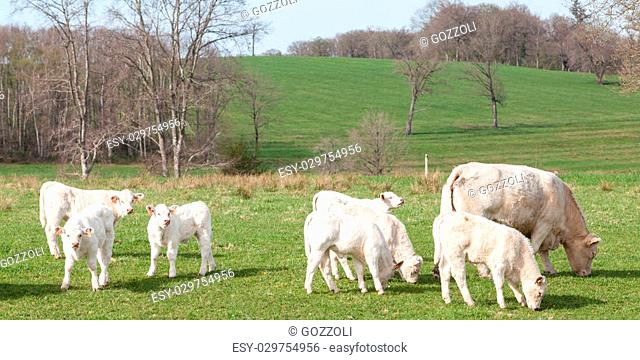 Group of young white Charolais calves grazing in late evening light, a French breed bred for their beef, Panoramic banner format