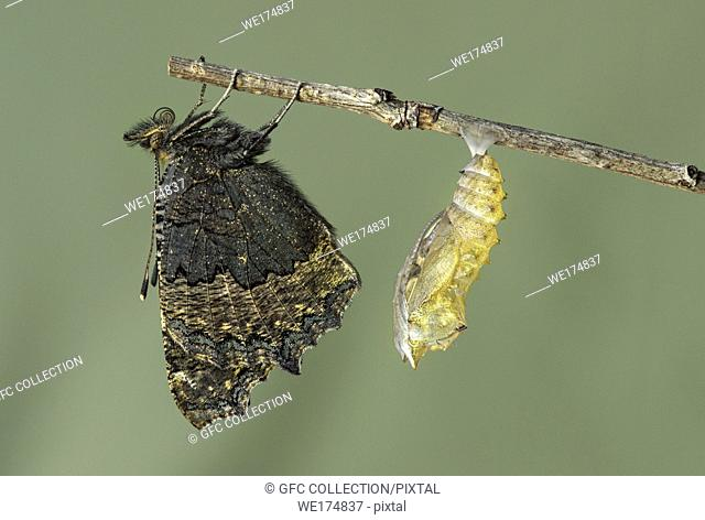 New hatched Small tortoiseshell (Aglais urticae), a butterfly of the Nymphalidae family, close to its exuvia, Canton of Geneva, Switzerland