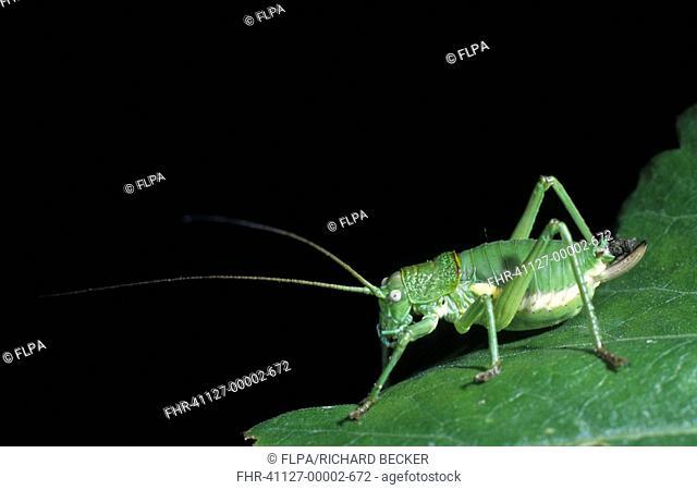 Bush Cricket Uromenus rugosicollis Female nymph - Marou, French Pyrenees, France