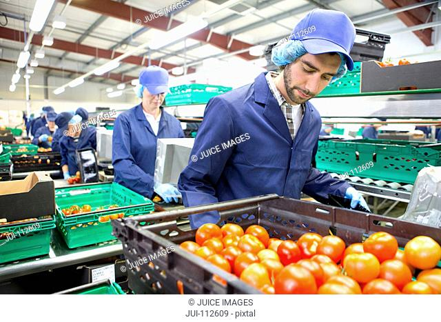 Worker sorting ripe red tomatoes on production line in food processing plant
