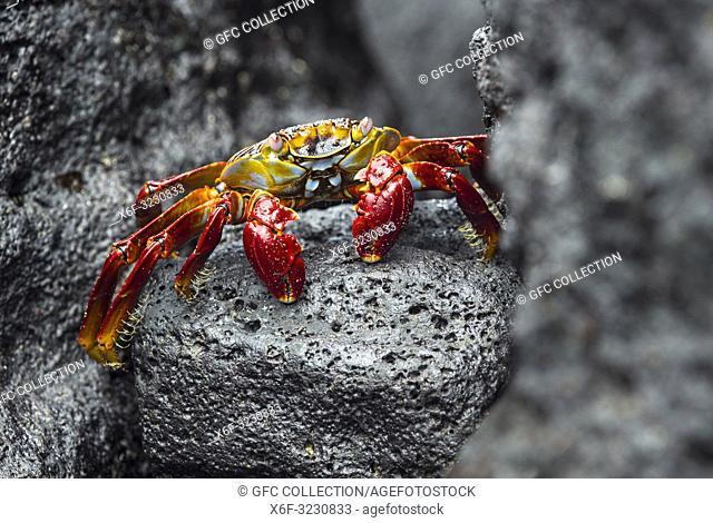 Sally Lightfoot Crab (Grapsus grapsus), Marsh crabs family (Grapsidae), Floreana Island, Galapagos Islands, Ecuador