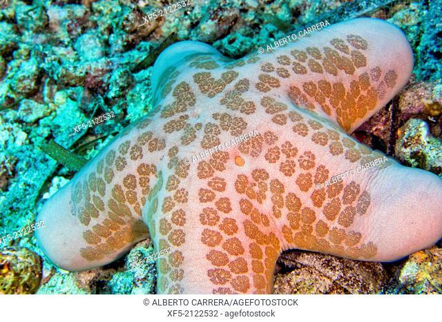 Granular Sea Star, Choriascer granulatus, Starfish, Bunaken National Marine Park, Bunaken, North Sulawesi, Indonesia, Asia