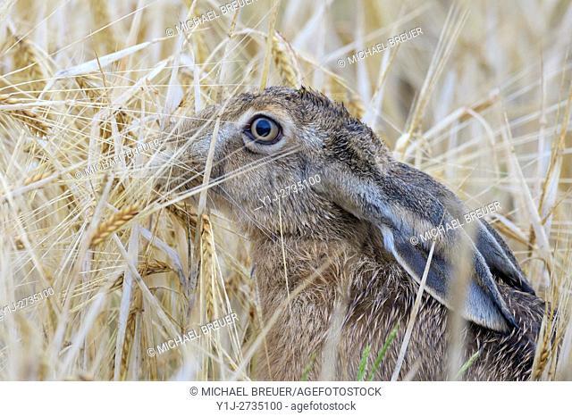 European brown hare (Lepus europaeus) in Cornfield, Hesse, Germany, Europe