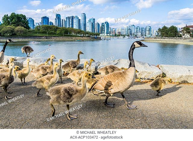 Canada Geese families at False Creek seawall, Vancouver, British Columbia, Canada