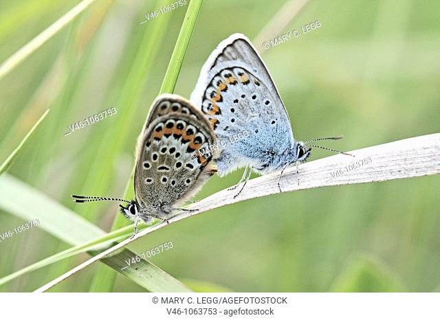 Mating Blues, Reverdin's plebejus argyrognomon or Silver-studded,  Mixed mating among the blues Looks like a Male Reverdin's with female Silver-studded