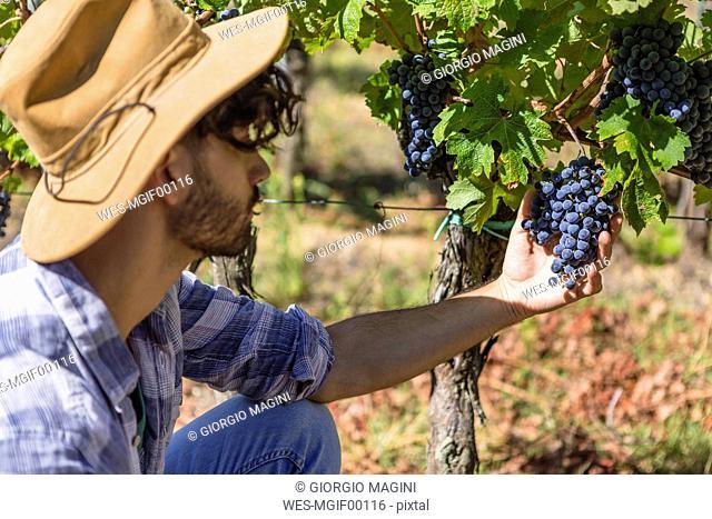 Man examining grapes on vine