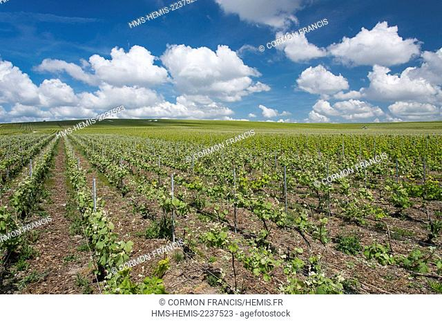 France, Marne, Rilly la Montagne, Champagne vineyards (aerial view)