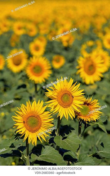 Helianthus annuus. Sunflower field Cordoba province, Andalusia, Spain, Europe