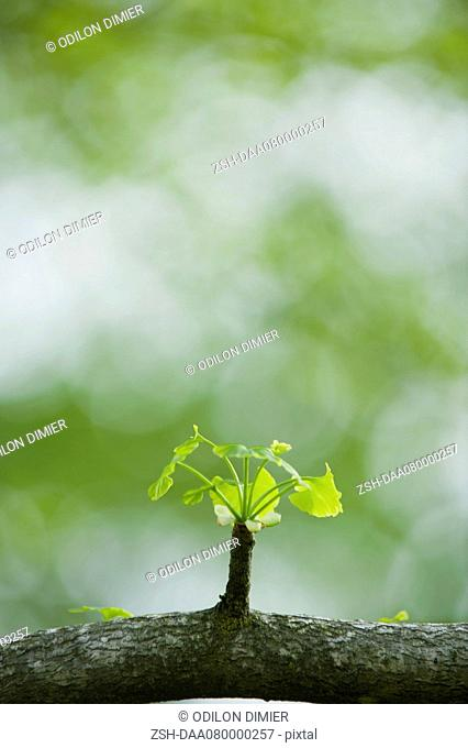 Ginkgo leaves sprouting on branch