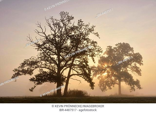 English oak (Quercus robur) in a meadow, sunrise with morning fog, Middle Elbe Biosphere Reserve, Saxony-Anhalt, Germany