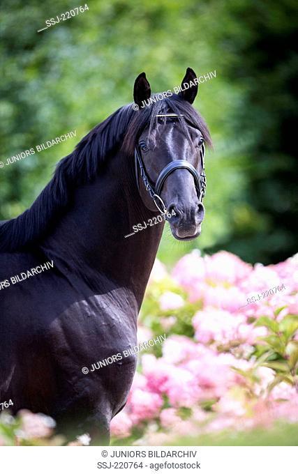 Oldenburg Horse. Portrait of black stallion standing amidst pink flowering Phlox. Germany