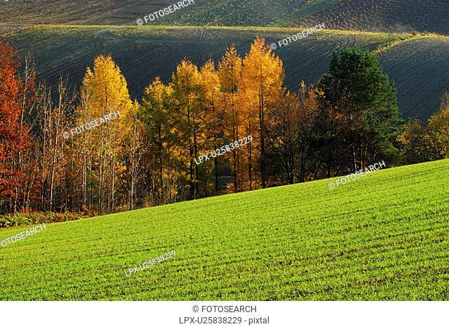 Japanese larch trees in autumn, Hokkaido Prefecture, Japan