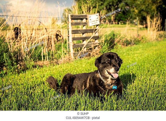 Dog lying on grass on farm