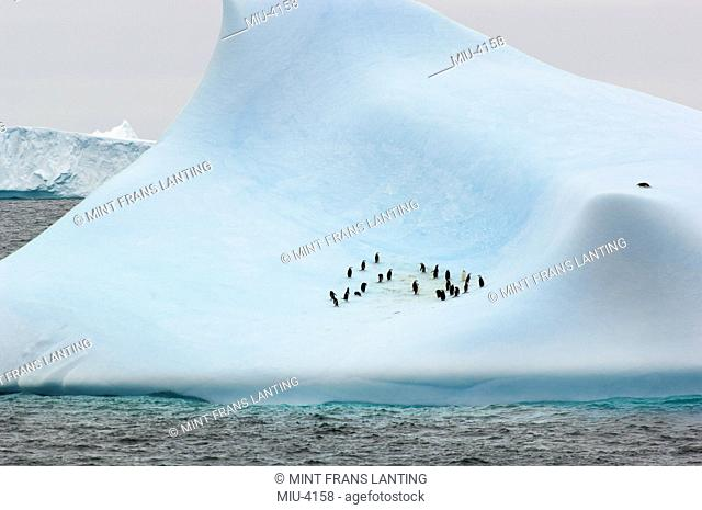 Chinstrap penguins on iceberg, Pygoscelis antarcticus, Orkney Islands, Antarctica