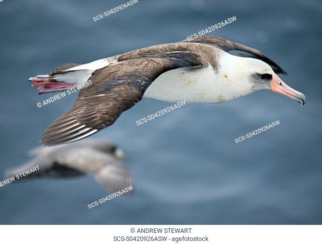 Albatross Kuril Islands, Russia