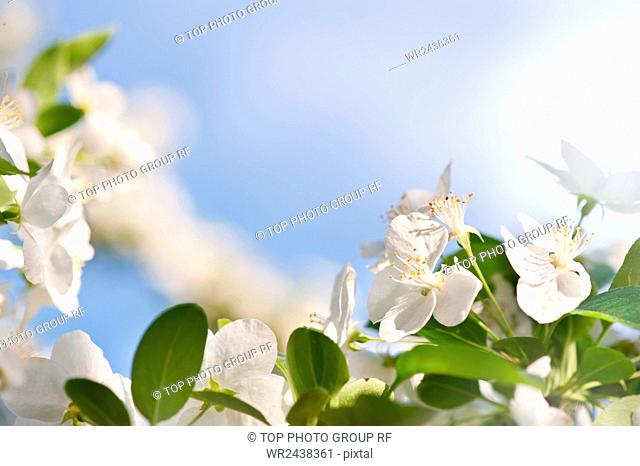 Flowering Cerasus cherry tree vibrant green leaves and white blossoms in sunlight, early spring season, bright nature detail, horizontal orientation, nobody