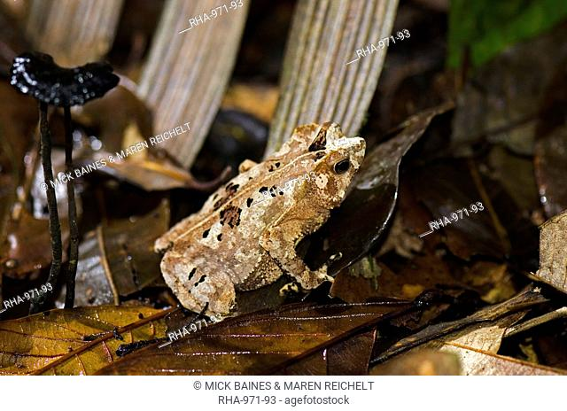 Cryptically patterned frog on rainforest leaf litter, Atta Rainforest Lodge, Guyana, South America