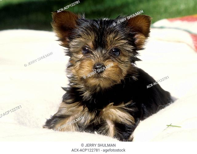 Yorkshire Terrier Puppy sitting on blanket outside
