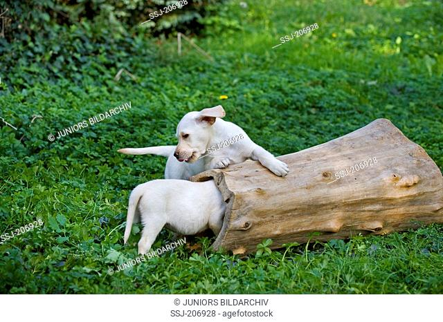 Labrador Retriever. Two puppies (8 weeks old) playing with a hollow log. Germany
