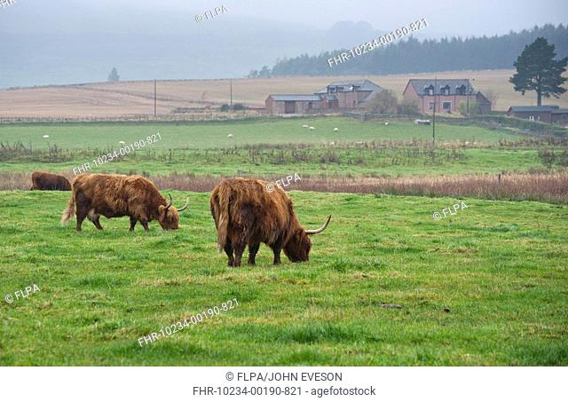Domestic Cattle, Highland Cattle, cows grazing on pasture, Loch of Kinnordy RSPB Nature Reserve, Kingoldrum, Angus, Scotland, november